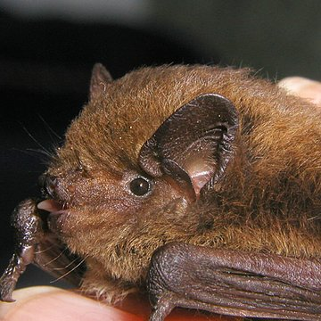 Rauhautfledermaus | © Bettina Cordes